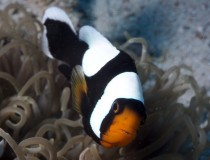 amphiprion.polymnus