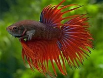 betta.crown.tail.1