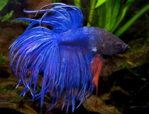betta.crown.tail.2