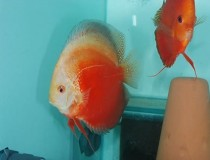 discus.red.white