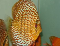 discus.turchese.rosso